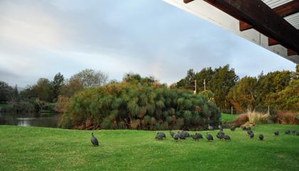 View of guinea fowl birds at Tenikwa Nature Lodge